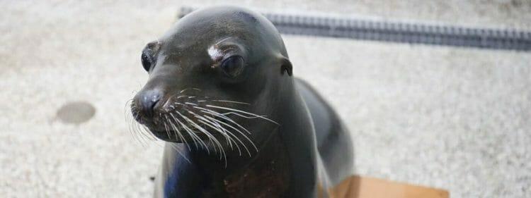 California Sea Lion 4