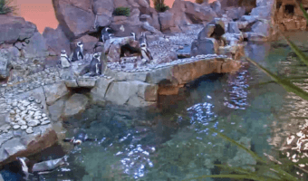 African Penguin Webcam