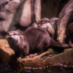Asian Small-clawed Otter 7