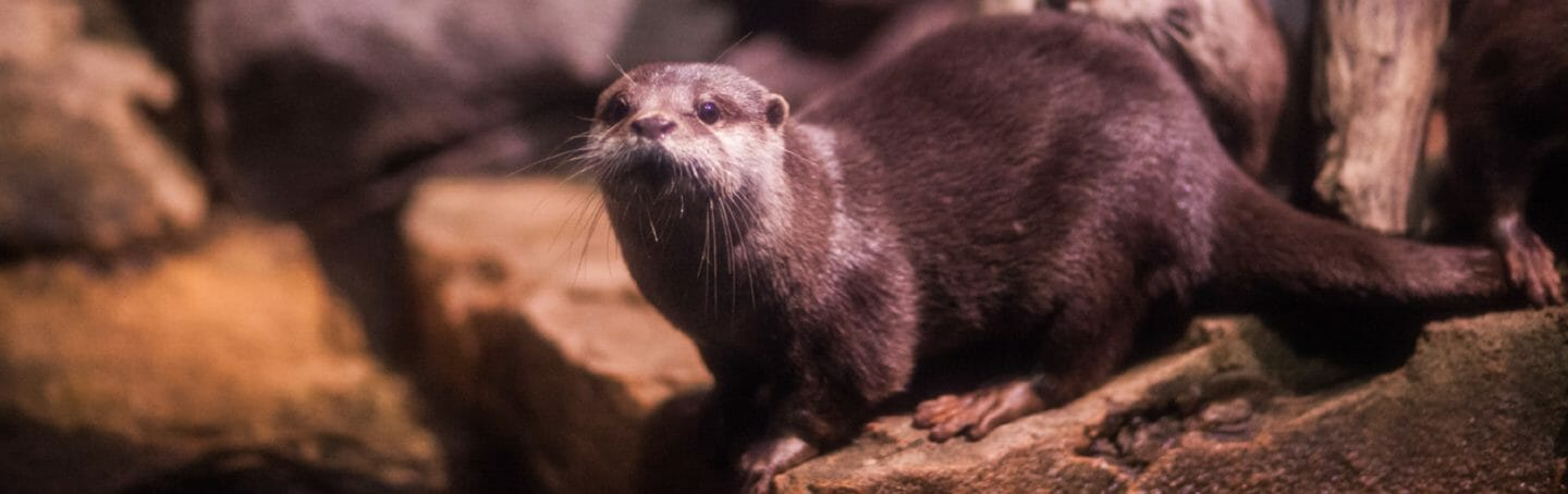 asian-small-clawed-otter