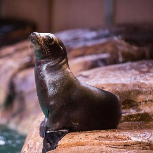 california-sea-lion