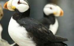 georgia-aquarium-horned-puffin