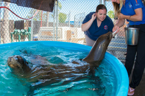 Sea Lion Rescue 3California Sea Lion Rescue at with Georgia Aquarium 1