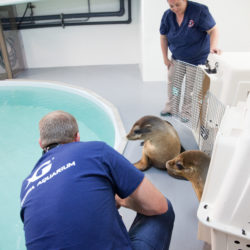 California Sea Lion Rescue at with Georgia Aquarium 4