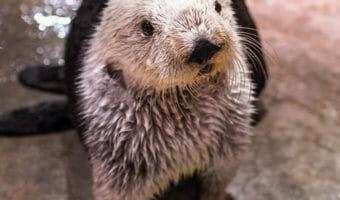 southern-sea-otter