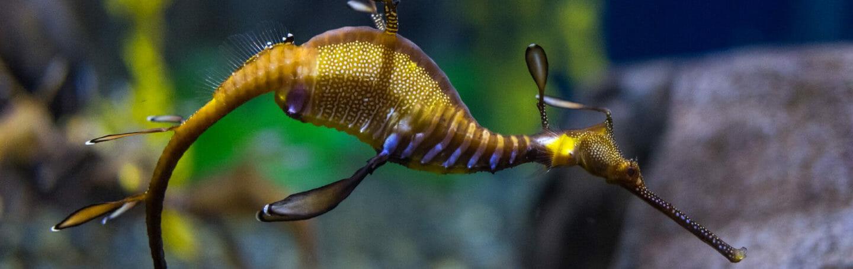 weedy-sea-dragon