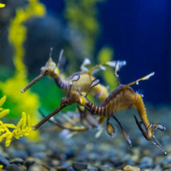 weedy-sea-dragon