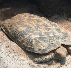 african-pancake-tortoise