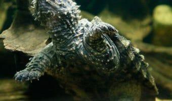 georgia-aquarium-alligator-snapping-turtle
