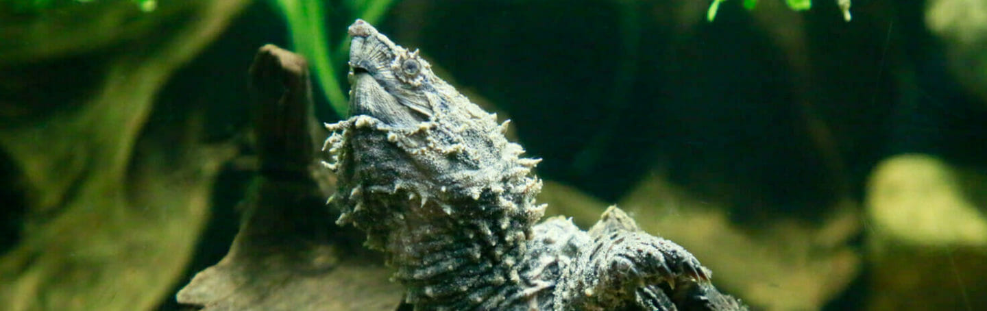 Alligator Snapping Turtle 1
