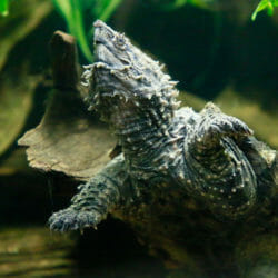 Alligator Snapping Turtle 2