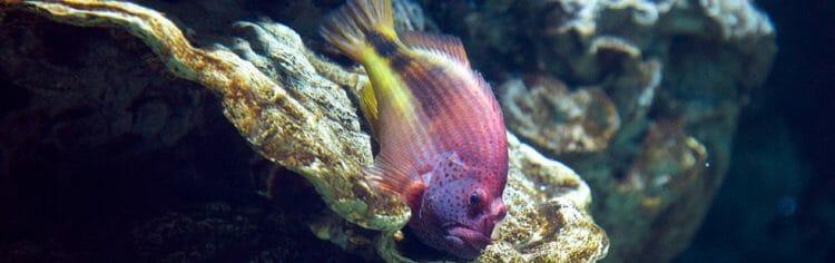 arc-eye-hawkfish