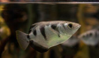 banded-archerfish