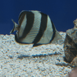 Banded Butterflyfish 1