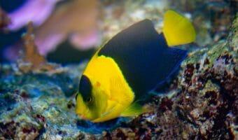 bicolor-angelfish