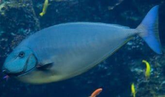 georgia-aqaurium-bignose-unicornfish