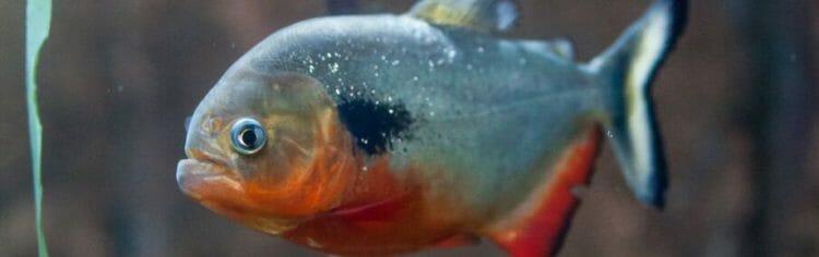black-spot-piranha