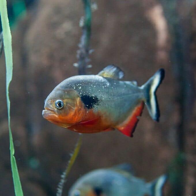 Predator sempurna, ikan piranha akan memakan semua jenis daging yang masuk ke air, termasuk ikan hias