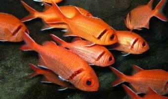blackbar-soldierfish