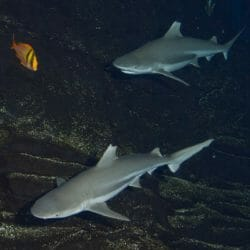 georgia-aquarium-blacktip-reef-shark