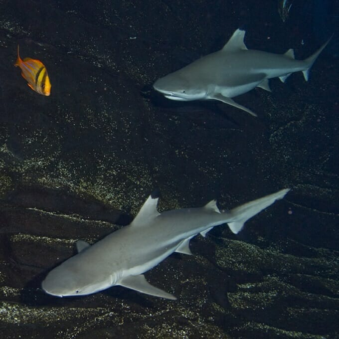 blacktip-reef-shark