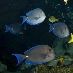 georgia-aquarium-blue-tang-surgeonfish