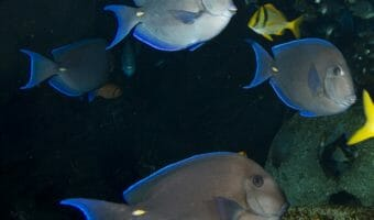 blue-tang-surgeonfish