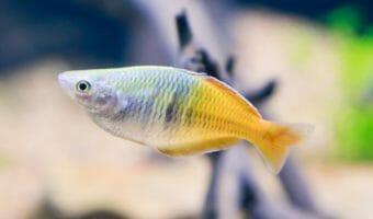 boesmans-rainbowfish