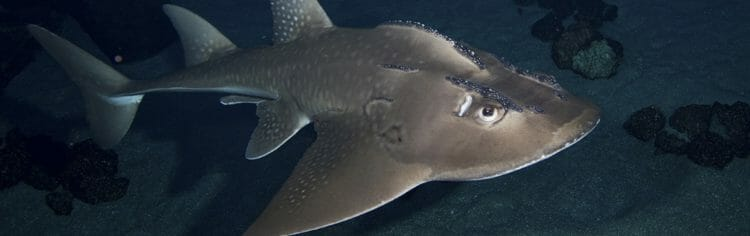 bowmouth-guitarfish