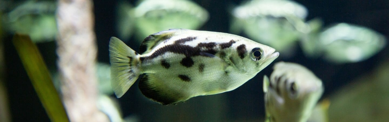 Clouded Archerfish