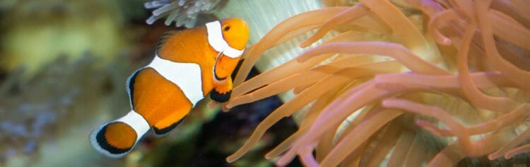 clown-anemonefish