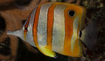 copperband-butterflyfish