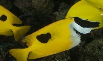 georgia-aquarium-foxface-rabbitfish