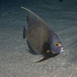 french-angelfish