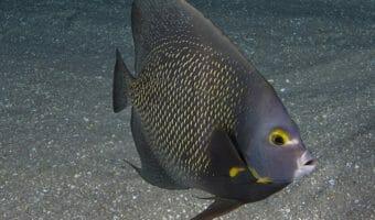 georgia-aquarium-french-angelfish