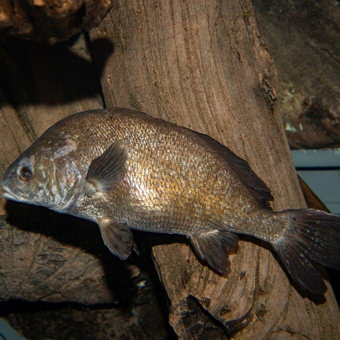 Freshwater Drum Georgia Aquarium