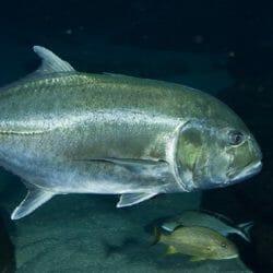 georgia-aquarium-giant-trevally