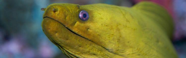 green-moray-eel
