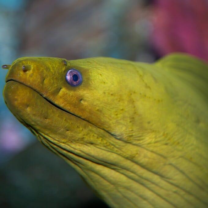 Green Moray Eel Georgia Aquarium