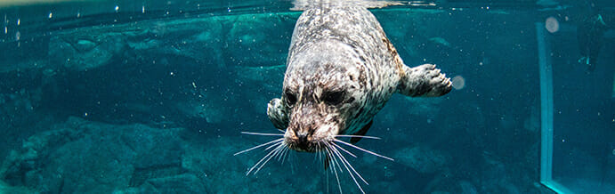 harbor-seal
