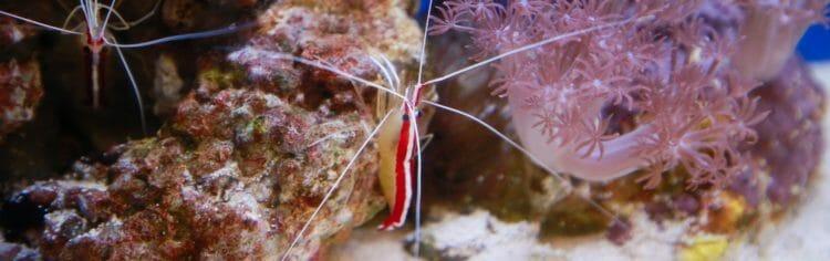 Hawaiian Cleaner Shrimp