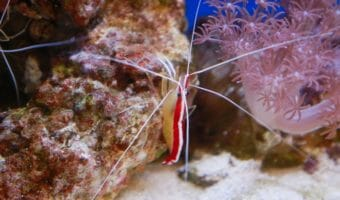 Hawaiian Cleaner Shrimp 1