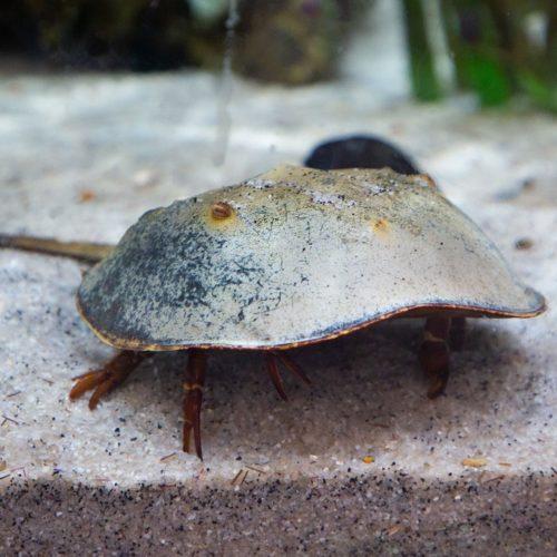 Horseshoe Crab 1