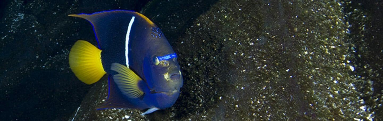 king-angelfish