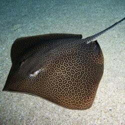 leopard-whipray
