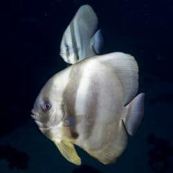 Longfin Batfish