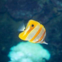 georgia-aquarium-longnose-butterfly-fish
