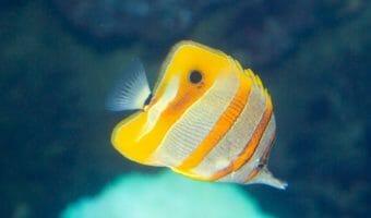 longnose-butterfly-fish