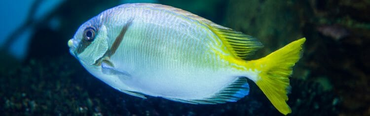 masked-rabbitfish