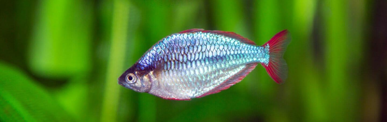 neon-dwarf-rainbowfish